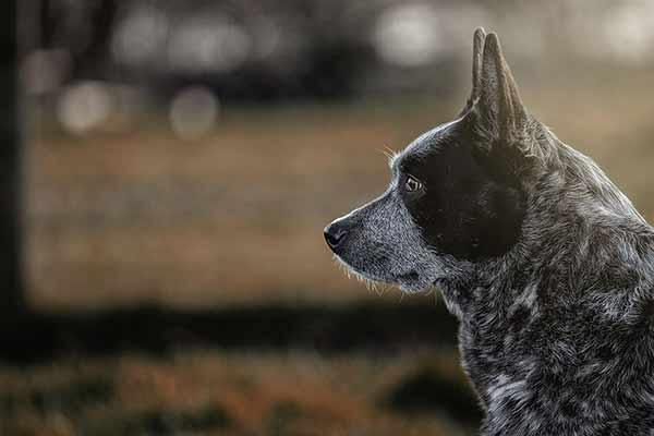 Cattledog im Gegenlicht fotografiert