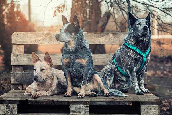 Drei Australian Cattle Dogs in Hundetagesstätte