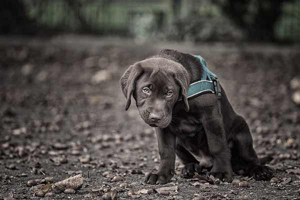 Labrador Welpe mit lustigem Blick