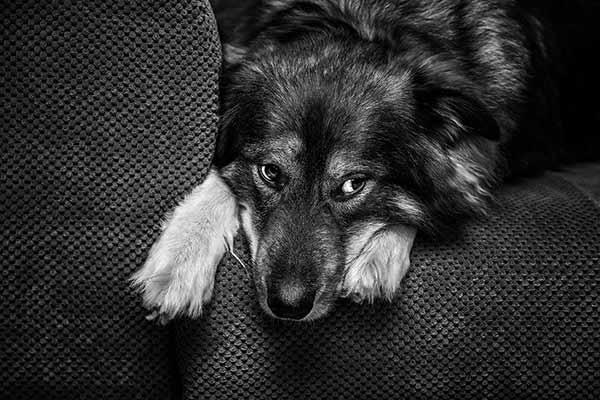 Hund auf dem Sofa im Fotostudio