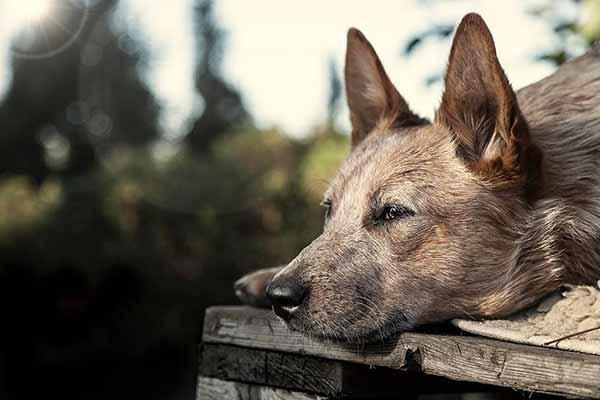 Cattledog in der Huta fotografiert