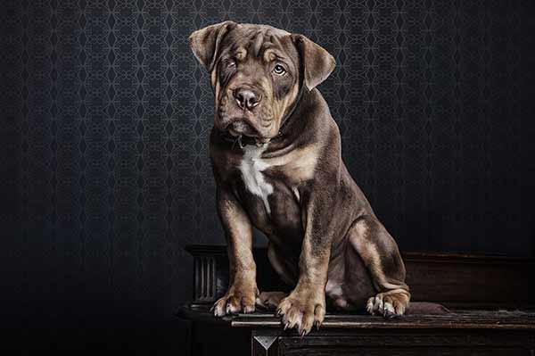 Bulldogge mit einem Auge