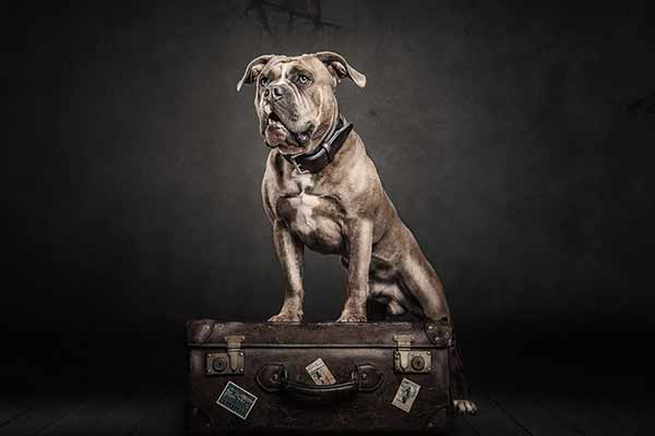 Old English Bulldog - das Muskelpaket