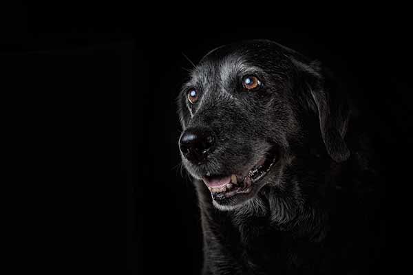 Labradorweibchen mit stolzem Alter