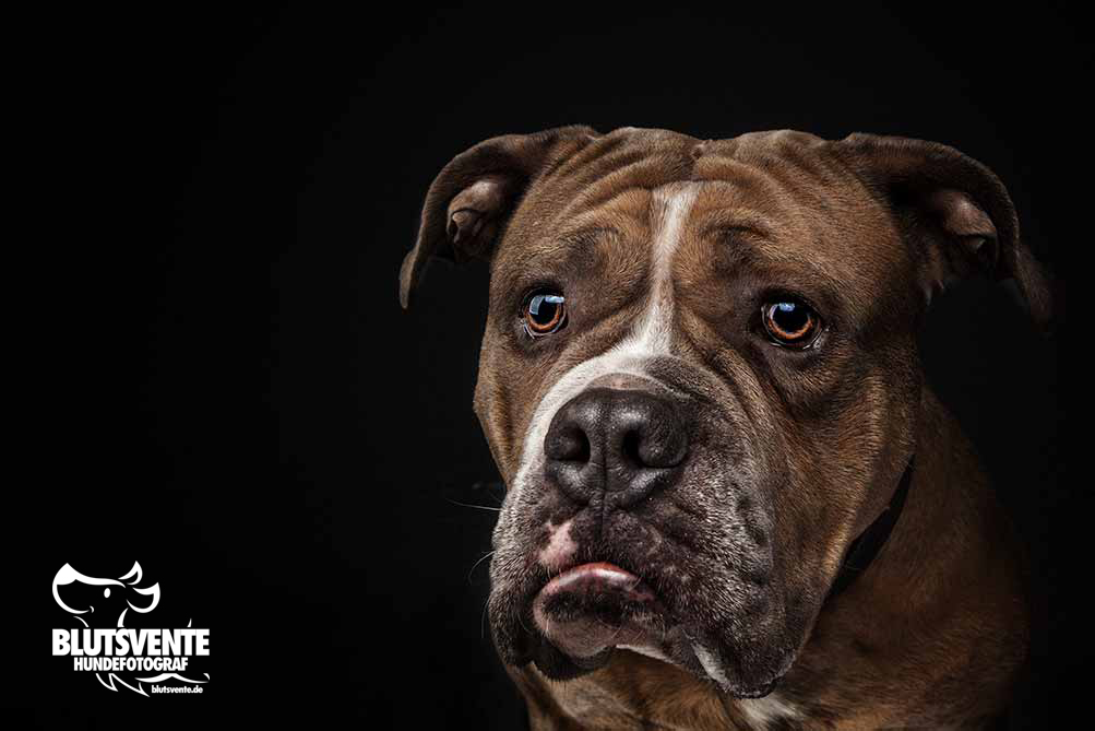Bulldogge zieht Schnute
