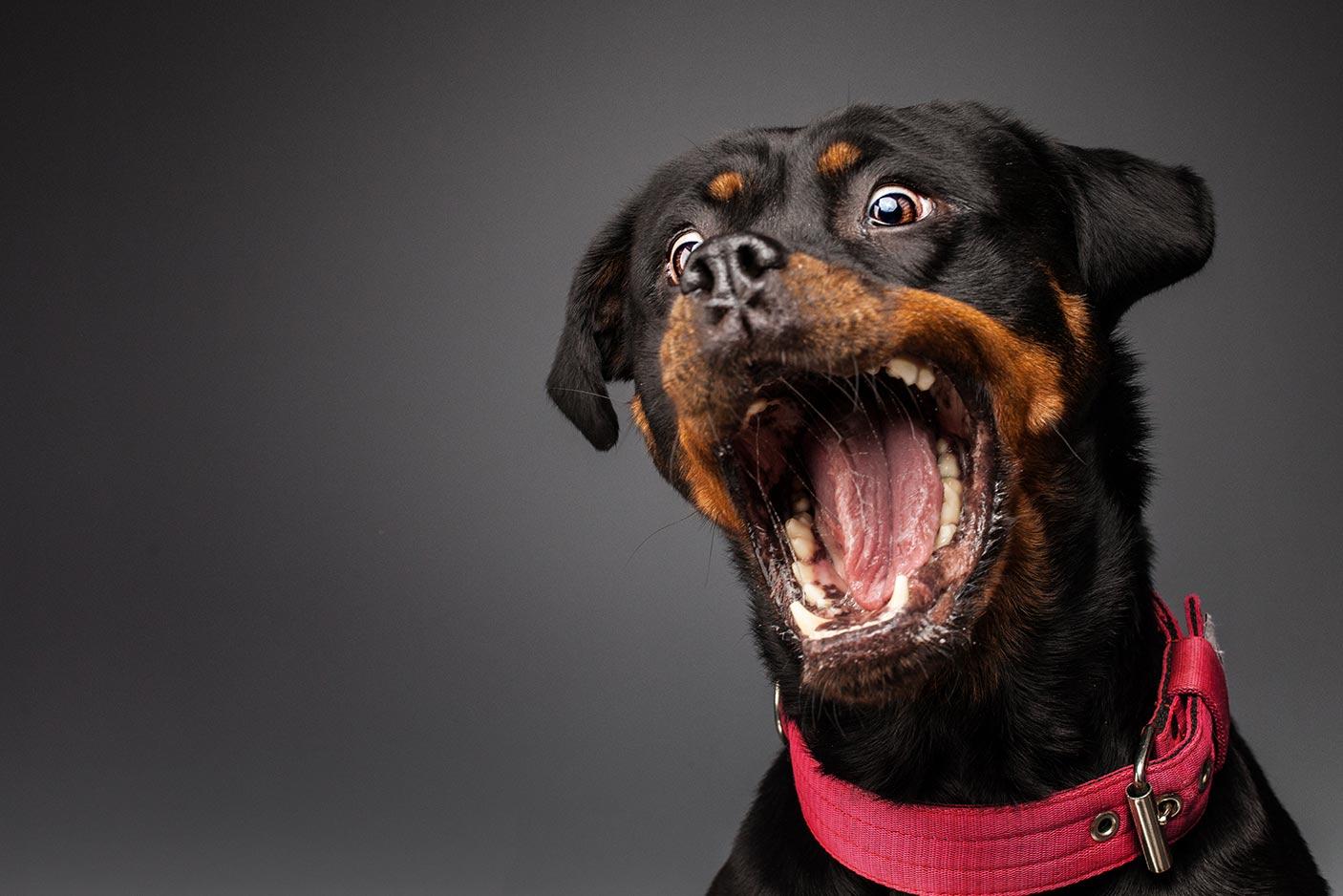 Fotoshooting mit Rottweiler