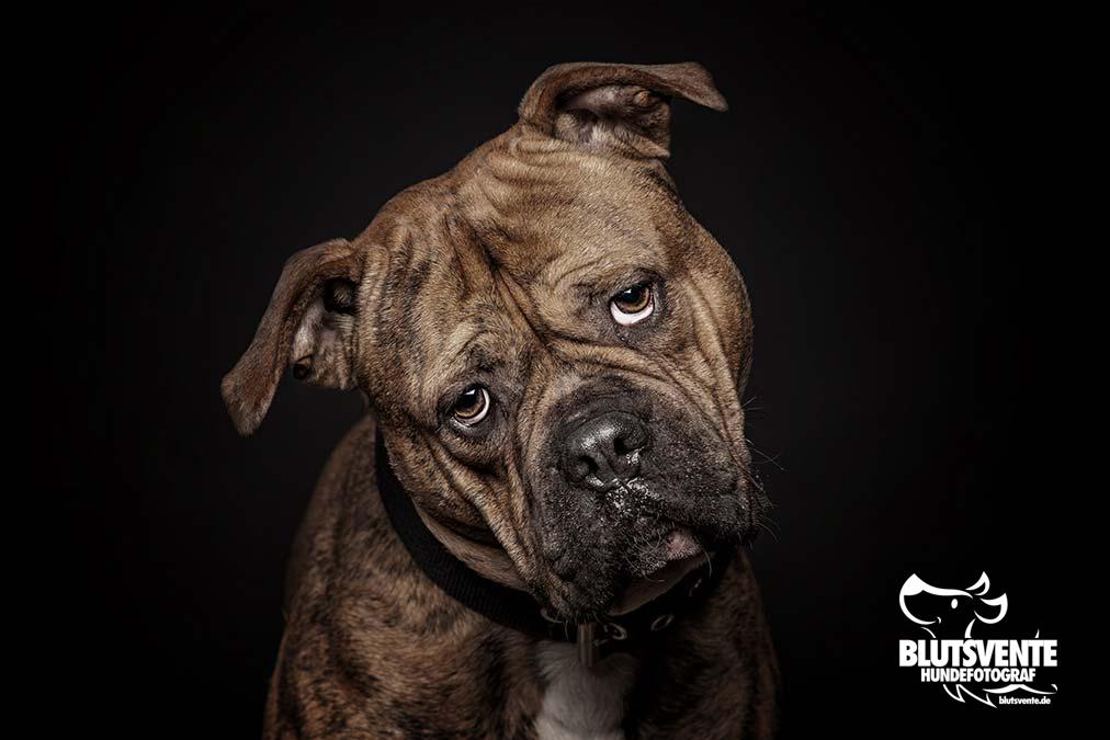 Old English Bulldogg mit komischem Blick