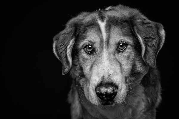 Hundefotografie Schwarz Weiß Portrait