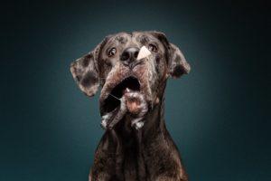 Dogge schnappt Leckerli - Schnappfoto