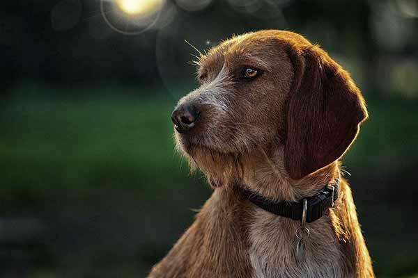 Hundeportrait vor Sonne