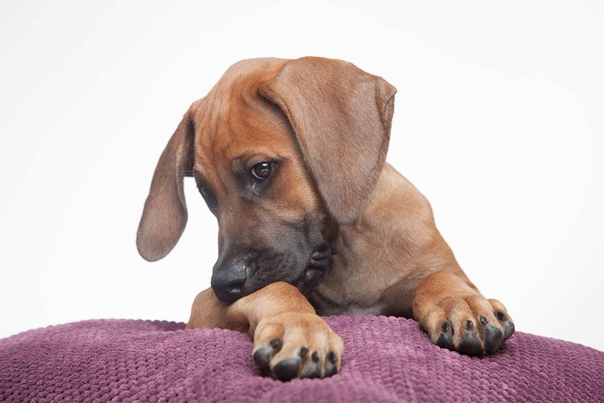 Süsser Hund im Fotostudio