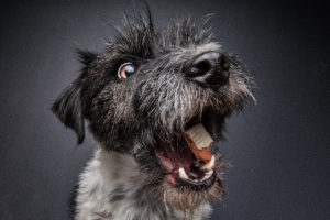 Jack der Terrier
