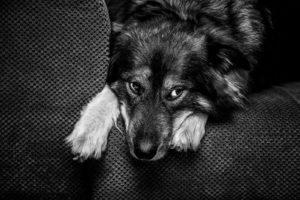 Toller Herdenschutzhund