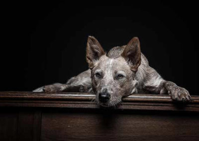 Studiofoto Australian Cattle Dog