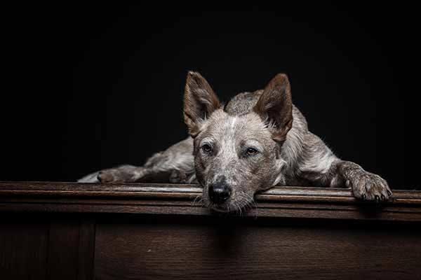 Hundefotografie im Fotostudio
