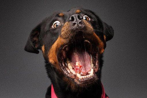 Snapshot Rottweiler