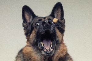 Schäferhund schnappt zu