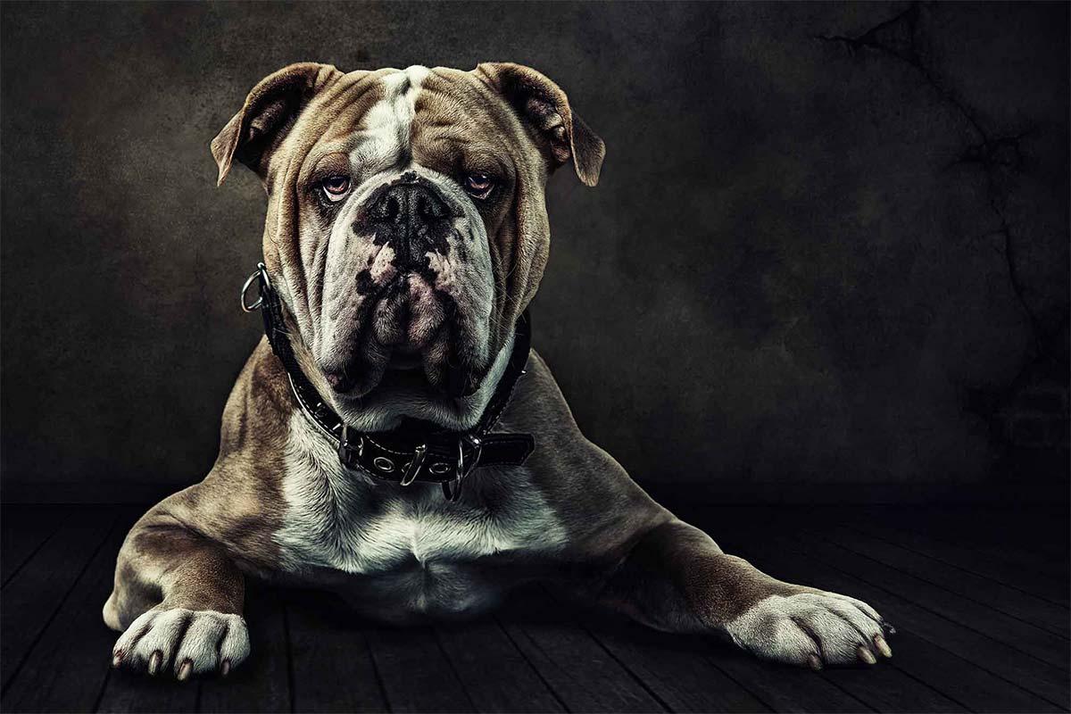 Bulldogge im hundefreundlichen Fotostudio Ruhrgebiet