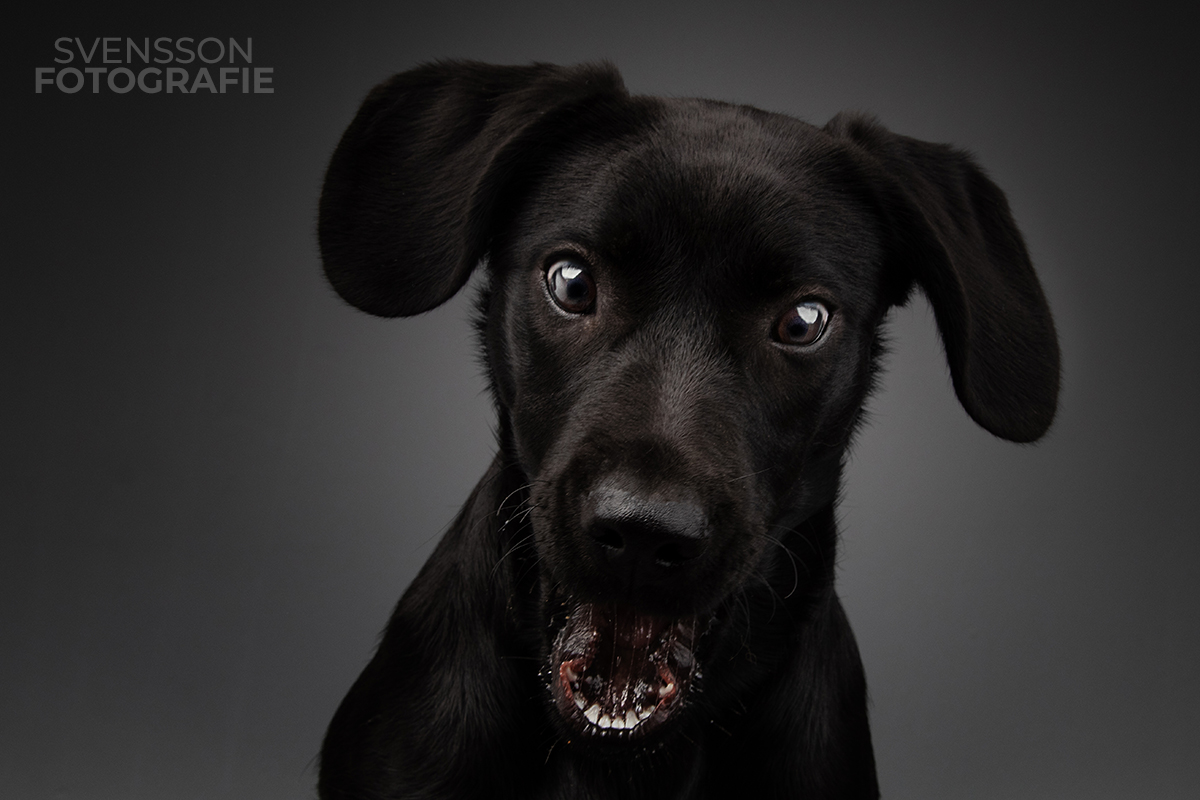 Labrador schnappt nach Futter