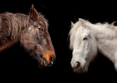 Pferdefotografie schwarzer Hintergrund