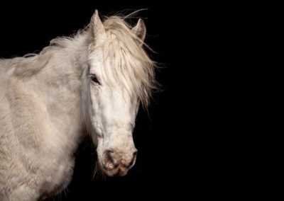 Pferdefoto im Fotostudio