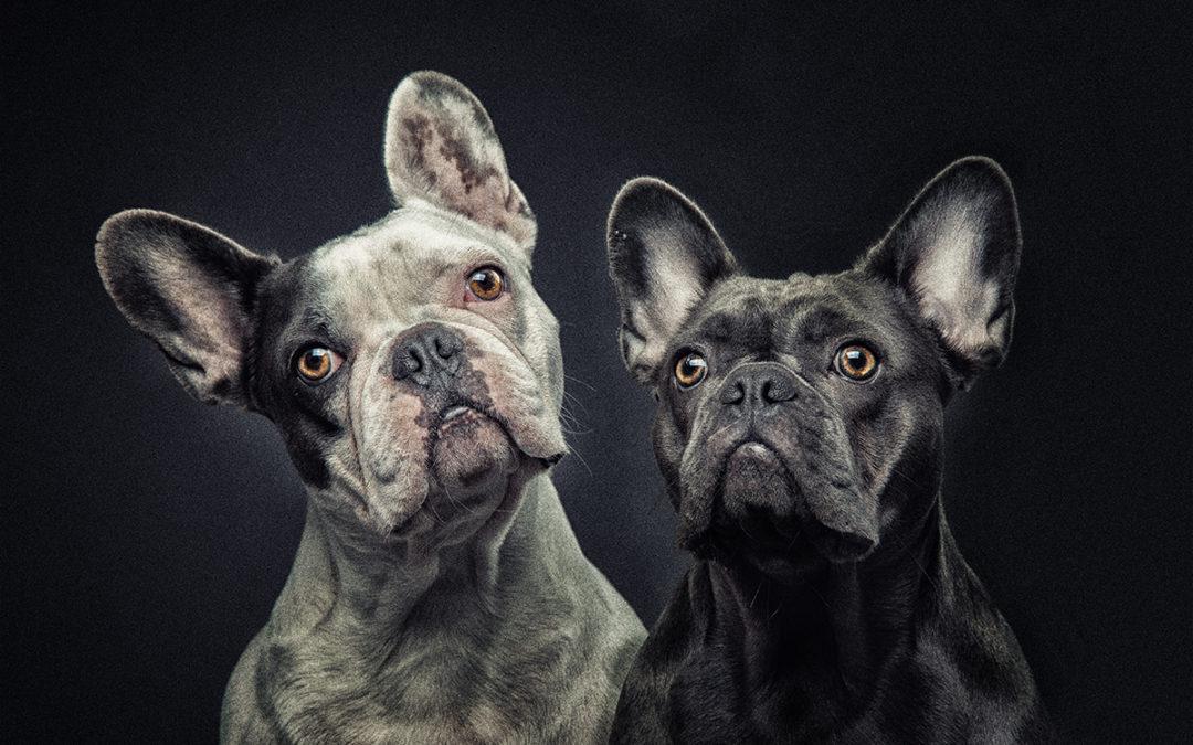 Französische Bulldoggen Fotostudio